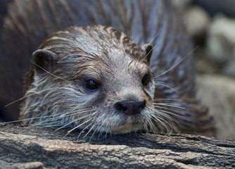 Otter Portrait 036