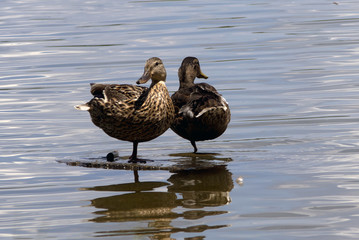 Two Ducks Standing on One Leg