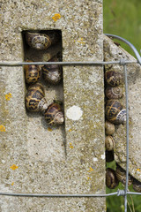 Garden snails, helix aspersa, group nestling on a concrete post,