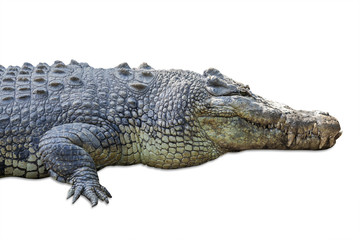Wildlife crocodile isolated on white 1