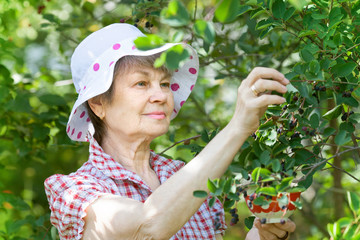 Elderly adult female in garden harvesting berries of mespilus