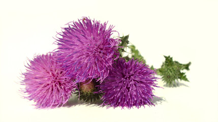 Thistle - Health from nature