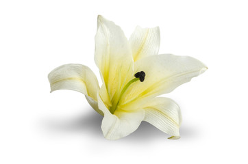 White Lily isolated on white Clipping path