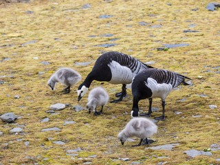 Barnacle geese with chicks - Arctic, Spitsbergen