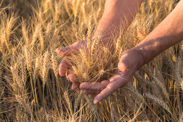 Ripe golden wheat ears in her hand