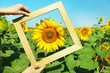 Beautiful sunflower with frame in field