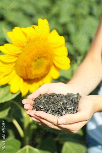 Fotobehang Zonnebloemen Hands holding sunflower seeds in field