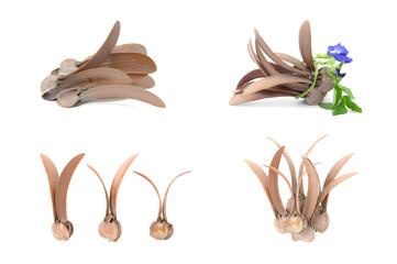 dry dipterocarpus alatus flower