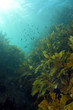 Shallow water kelp forest lit by sunrays