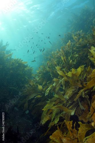 Papiers peints Recifs coralliens Shallow water kelp forest lit by sunrays