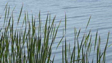High grass on the lakeside against water surface