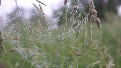 Early morning. Spider web with dew drops
