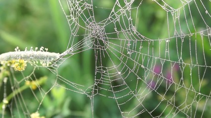 Spider web with dew drops early in the morning on a meadow