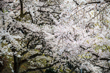 Sakura season in Kaizu Osaki, Japan