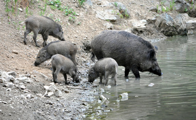 view of a herd of wild pigs at Lake