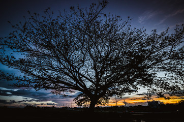 big tree under sunset