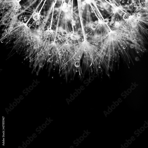 Super macro white dandelion with droplets on black background