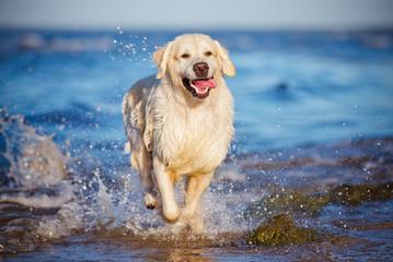 happy golden retriever dog on the beach