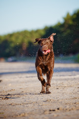 happy brown dog running outdoors
