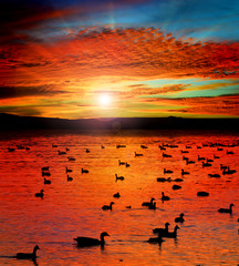 Sunset Lake with water birds. Ducks geese and coots