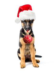 German Shepherd puppy wearing Santa's hat