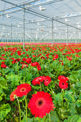 Blooming red gerberas in a Dutch greenhouse