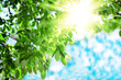 Sun and leaves. Green leaves on a background of blue sky and sun