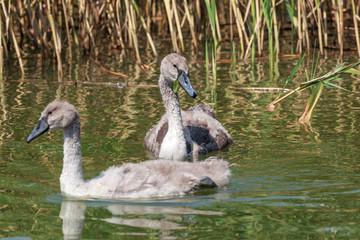 Schwanenküken (Cygnini) schwimmen im See