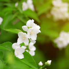Beautiful blossoming branch of jasmine