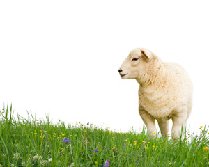 Sheep isolated