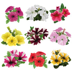 Set of multicolored petunias
