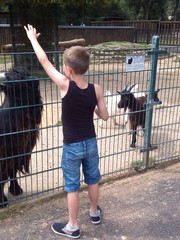 Boy playing with goats at zoo