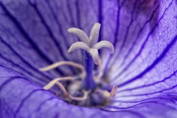 white pistil inside violet flower