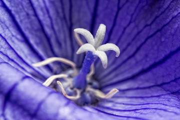 white pistil inside violet flower