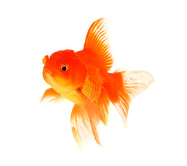Fish goldfish on a white background