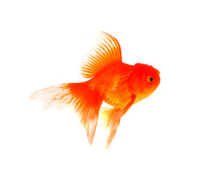 Beautiful aquarium fish goldfish on a white background
