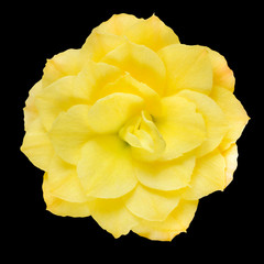 Dahlia Flower Yellow Petals Isolated on Black