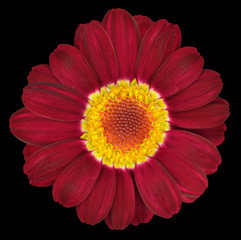 Dark Red Gerbera Flower Isolated on Black