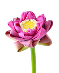 Lotus flower. Isolated with a white background