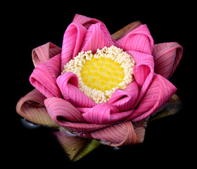 Pink Lotus flower beautiful lotus.