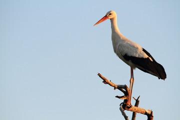 uccello cicogna bianca
