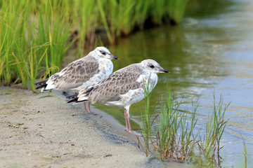 Two young seagulls