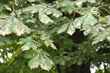The horse-chestnut, infected with a chestnut mining moth (the ok