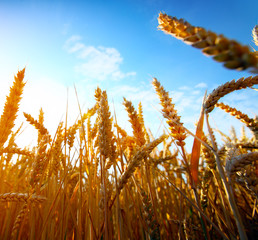 .golden wheat field and sunset