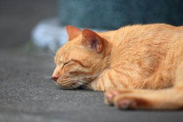 昼寝する野良猫