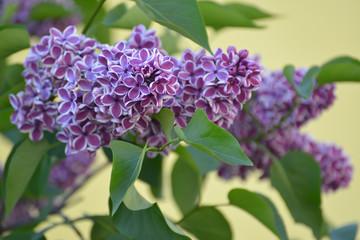Blossoming lilac (Syringa L. ) grades Sensation