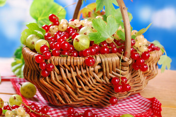 wicker basket with fresh red currant