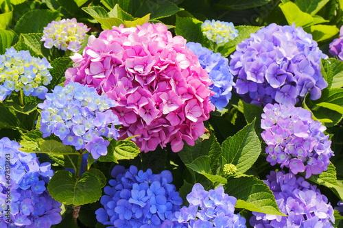 Foto op Plexiglas Hydrangea あじさい Hydrangea