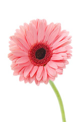 Pink Gerbera on white : Clipping path included