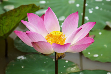 Closeup Beautiful Lotus